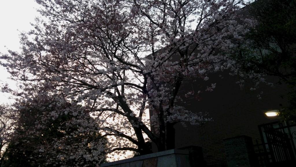 H27.3.29桜