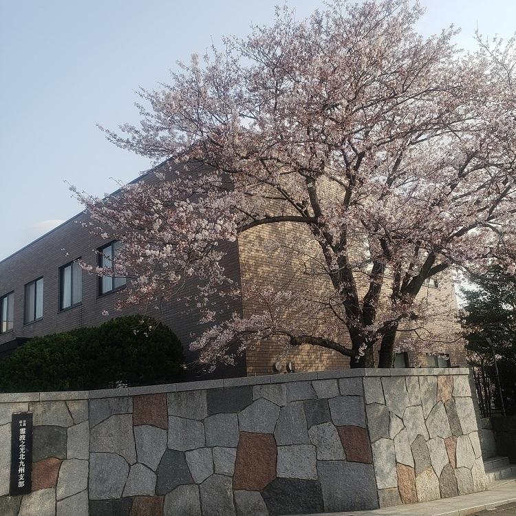 霊波之光北九州支部参門横の桜
