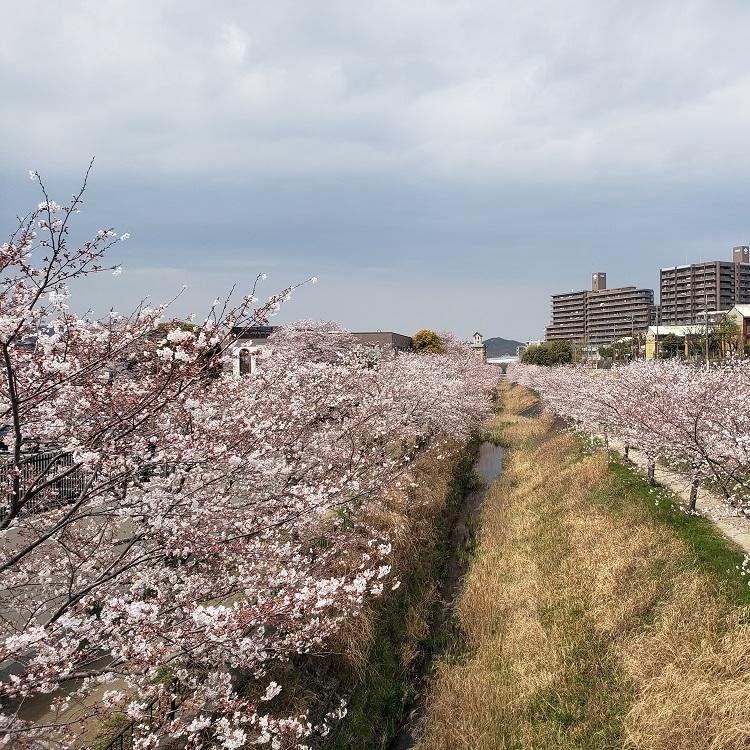 橋上からの桜