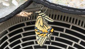 蝶が孵化する  蛹