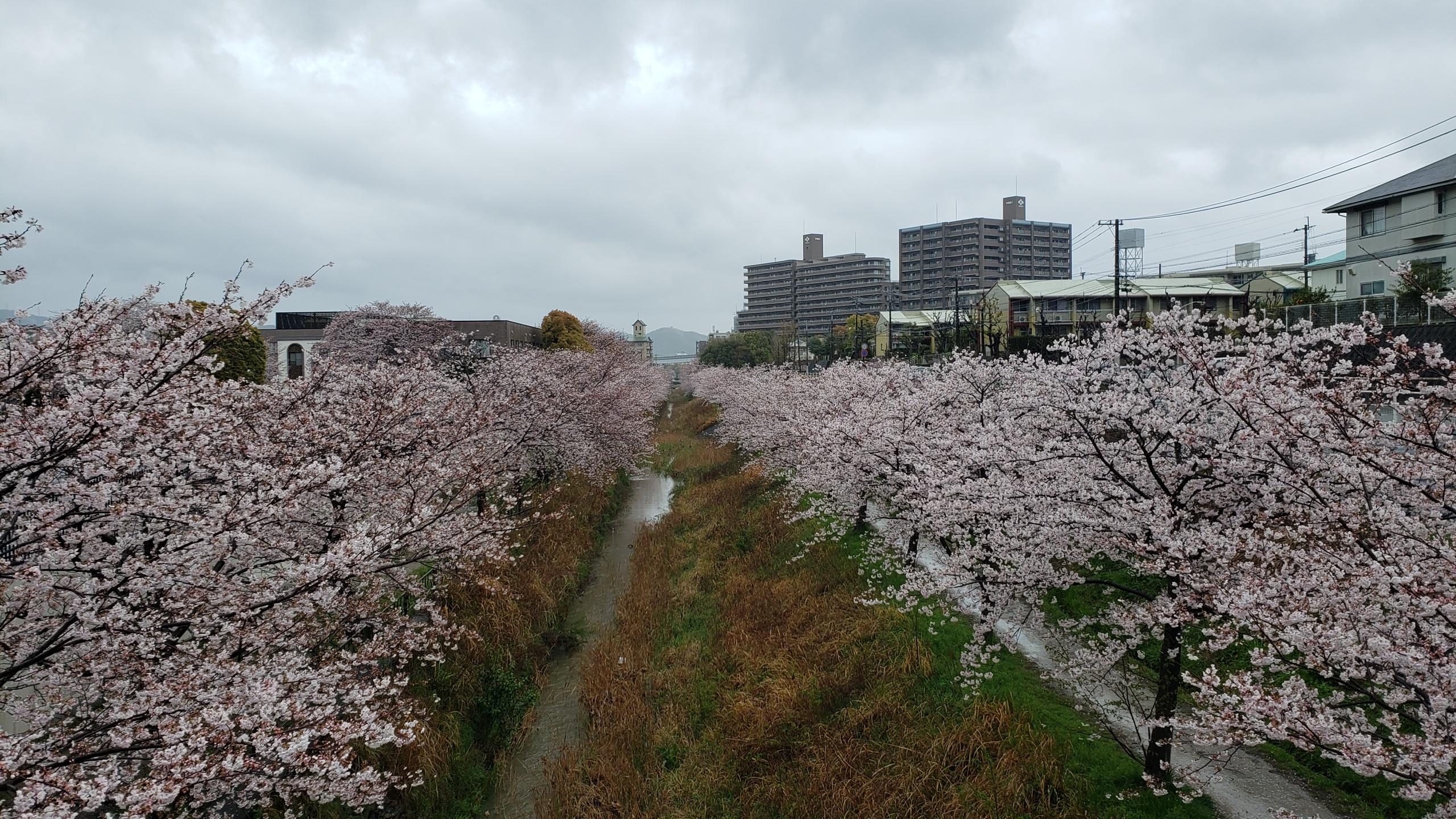 4月1日・北九州支部・桜